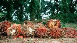 Oil Palm production: Ondo partners Dutch