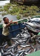 Fish farmers raise alarm over heavy rains