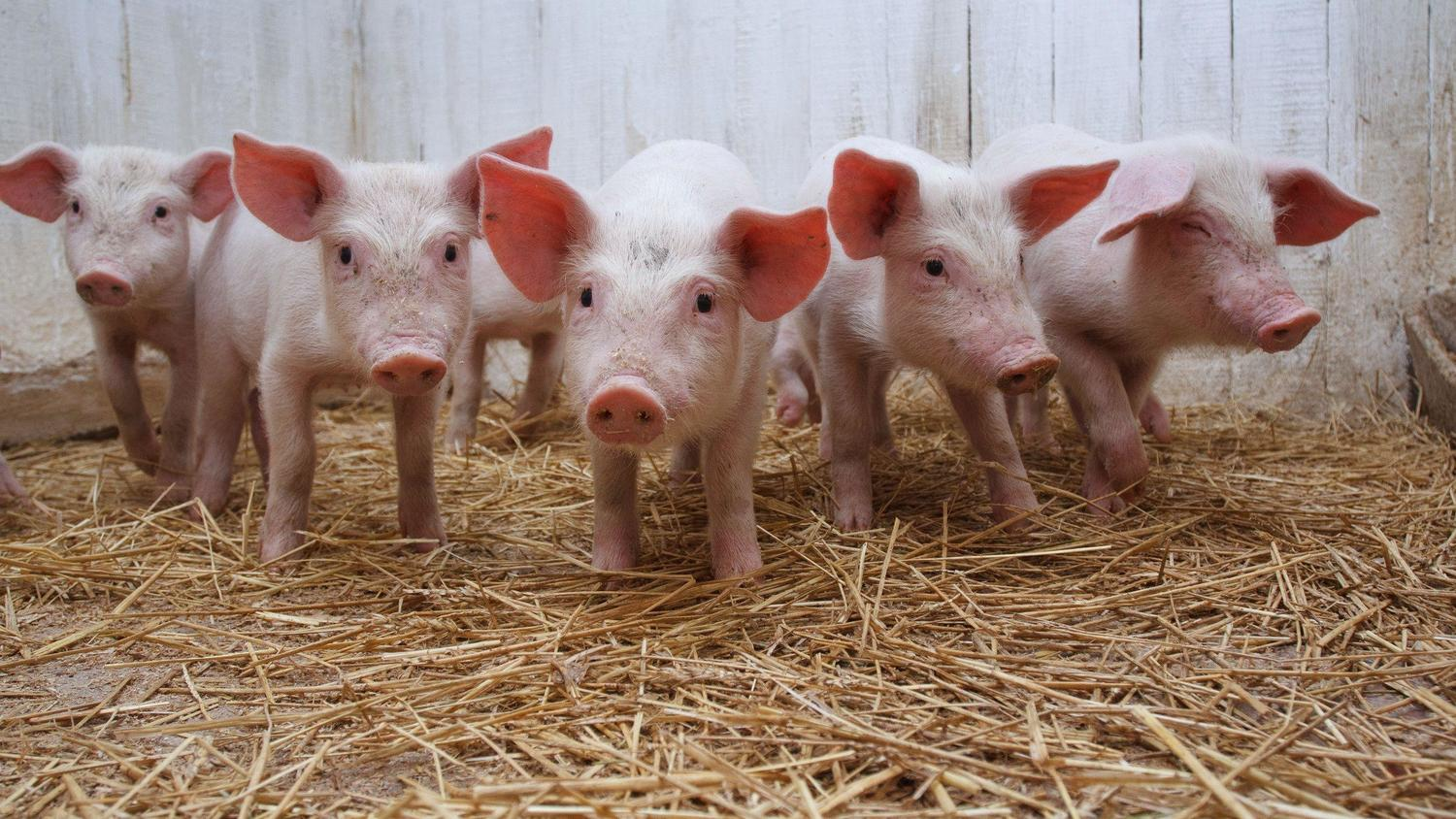 Give us pig village, farmers urges ODSG