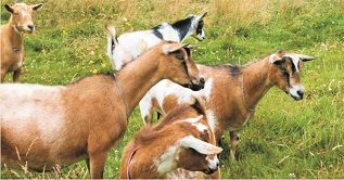 Bricklayer docked for stealing goats