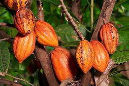 Ondo to establish largest Cocoa Estate in Africa