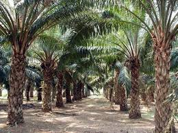 'ODSG 'll improve Araromi Obu/Ayesan Oil Palm'