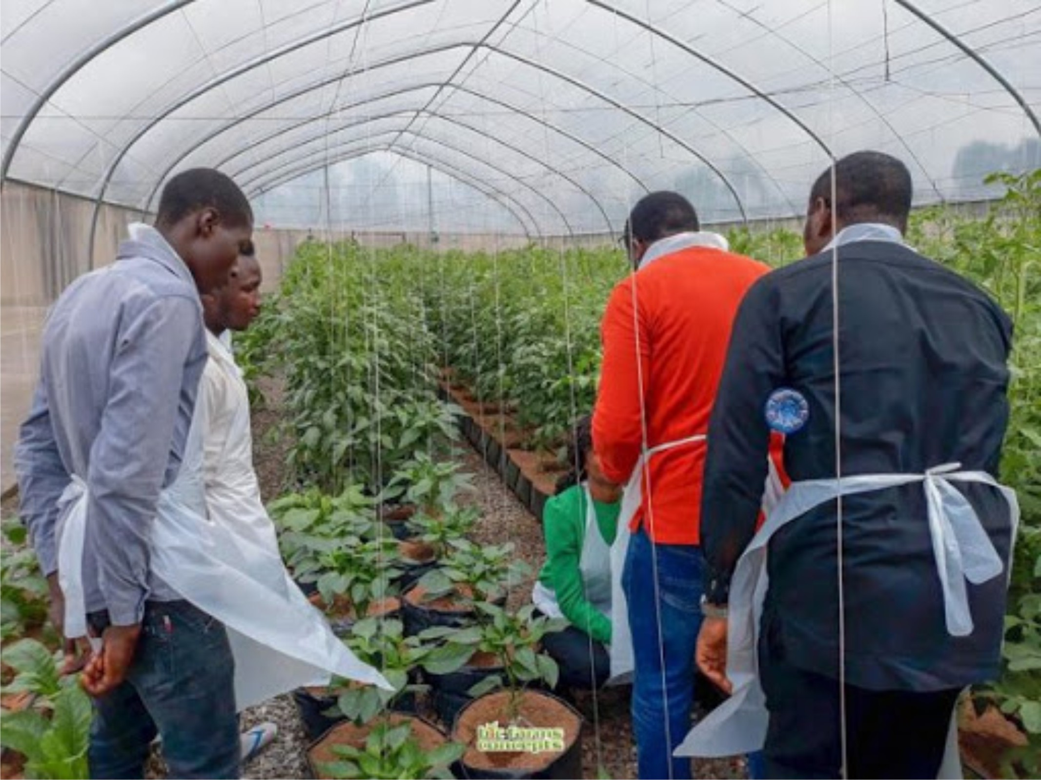 Making millions from Tomato farming