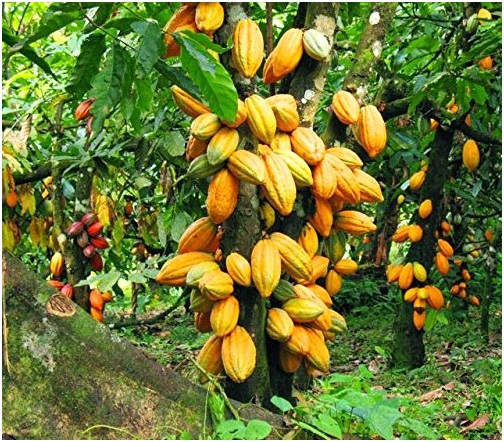 FAO boosts Ondo's cocoa, palm oil productions with $2.5m